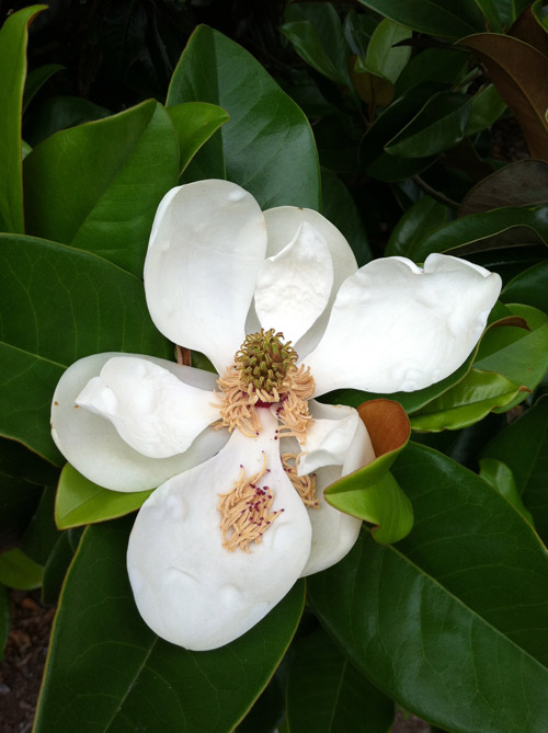 Carly-is-Inspired-Magnolia